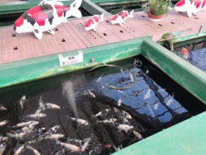 水槽の中の錦鯉