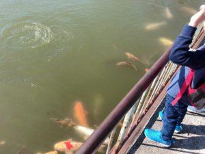 鯉にエサをあげる子供
