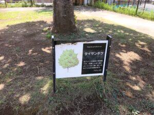 大木の説明が書かれている看板