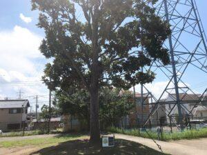 大きな大木が立っている